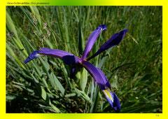 Gras-Schwertlilie (Iris graminea)