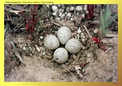 Flußregenpfeifer (Charadrius dubius), Nest+Gelege