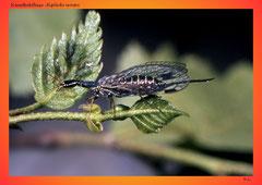 Kamelhalsfliege (Raphidia notata)
