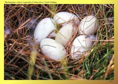 Höckergans (Anser cygnoides f. domestica), Nest+Gelege