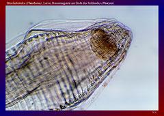 Büschelmücke (Chaoborus), Larve, Reusenapparat am Ende des Schlundes (Pharynx)