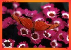 Dryas iulia, Costa Rica