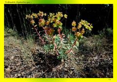 Wolfsmilch (Euphorbia spec.)
