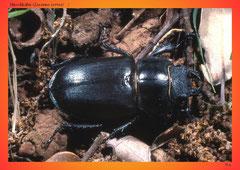 Hirschkäfer (Lucanus cervus) ♀