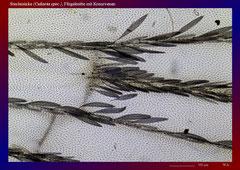 Stechmücke (Culiseta spec.), Flügelmitte mit Kreuzvenen-ca. 70x