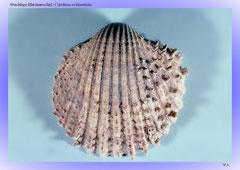 Stachlige Herzmuschel (Cardium echinatum)