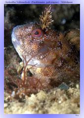 Gestreifter Schleimfisch (Parablennius gattorugine) / Mittelmeer