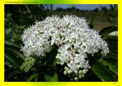 Zwerg-Holunder (Sambucus ebulus)
