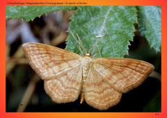 Ockerfarbiger Steppenheiden-Zwergspanner (Scopula ochrata)