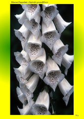 Blasser Fingerhut (Digitalis grandiflora)