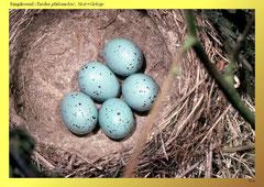 Singdrossel (Turdus philomelos), Nest+Gelege