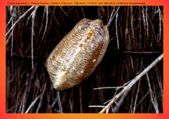 Gottesanbeterin o. Fangschrecke (Mantis religiosa), Gelege