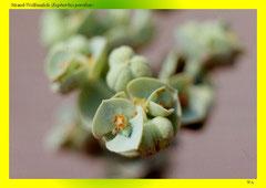 Strand-Wolfsmilch (Euphorbia paralias), Blüte