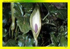 Gefleckter Aronstab (Arum maculatum)