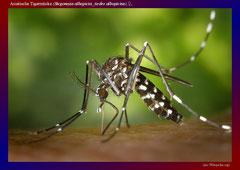 Asiatische Tigermücke (Stegomyia albopicta_Aedes albopictus),♀,