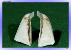 Seeigel-Zähne