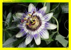 Passionsblume (Passiflora coerulea)