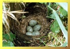 Amsel (Turdus merula) Nest + Gelege