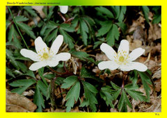 Busch-Windröschen (Anemone nemorosa)