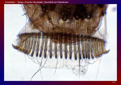 Eulenfalter – Raupe, (Familie Noctuidae), Bauchfuß mit Hakenkranz