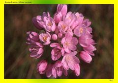 Rosen-Lauch (Allium roseum)