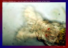 Rädertier (Philodina spec.), zwei rote Augenflecken-ca. 600x