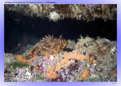Brauner Drachenkopf (Scorpaena porcus) / Mittelmeer