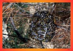 Feldwespe (Polistes spec.), Nest