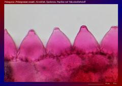 Pelargonie (Pelargonium zonale), Kronblatt, Epidermis, Papillen mit Vakuolenfarbstoff-ca. 300x