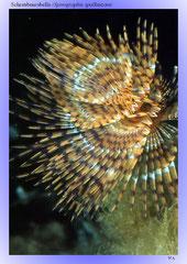 Schraubensabelle (Spirographis spallanzani)