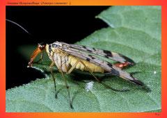 Gemeine Skorpionsfliege (Panorpa communis) ♀