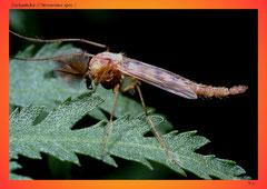 Zuckmücke (Chironomus spec.)