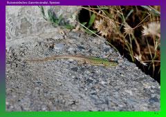 Ruineneidechse (Lacerta sicula), Spanien