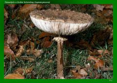 Parasolpilz o.Großer Schirmling (Lepiota procera)