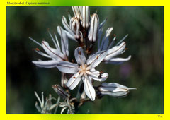 Meerzwiebel (Urginea maritima)