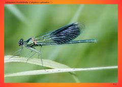 Gebänderte Prachtlibelle (Calopteryx splendens ♂)