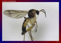 Pilzmücke (Leia bimaculata)-ca. 12x