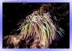 Wachsrose (Anemonia sulcata), Mittelmeer