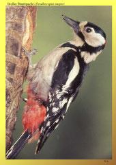 Großer Buntspecht (Dendrocopus major)