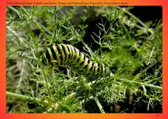 Schwalbenschwanz (Papilio machaon), Raupe auf Futterpflanze Fenschel (Foeniculun vulgare)