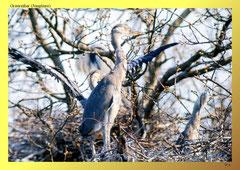 Graureiher (Ardea cinerea), Jungvögel