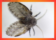 Schmetterlingsmücke (Psychodidae)