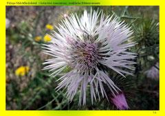 Filzige Milchfleckdistel (Galactites tomentosa), weißliche Blütenvariante