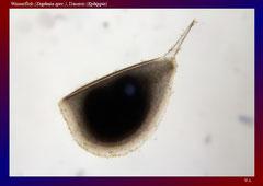 Wasserfloh (Daphnia spec.), Dauerei (Ephippie)-ca. 50x