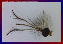 Stechmücke (Culex spec.), ♂, Kopf mit Antennen, Taster und Stechrüssel-ca. 20x
