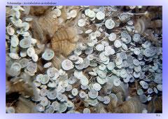Schirmalge (Acetabularia acetabulum)