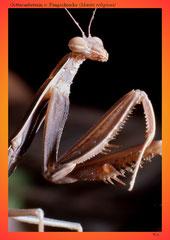 Gottesanbeterin o. Fangschrecke (Mantis religiosa)