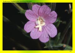 Rauhaariges Weidenröschen (Epilobium hirsutum)