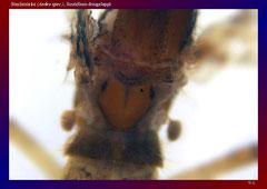 Stechmücke (Aedes spec.), Scutellum dreigelappt-ca. 30x