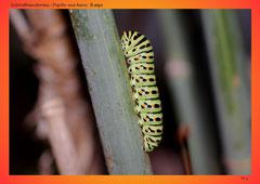 Schwalbenschwanz (Papilio machaon),
